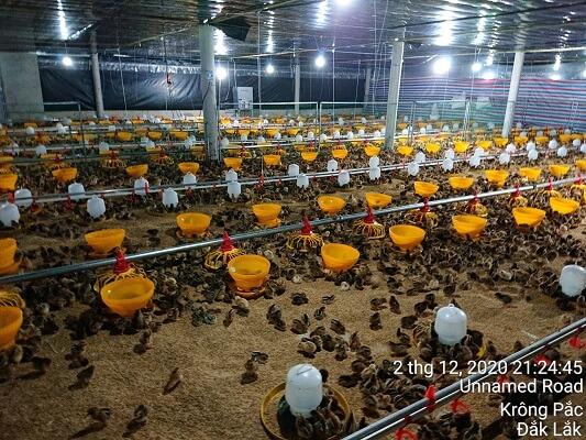 Hệ Thống Cho Gà ăn Tự động Tại Dak Lak