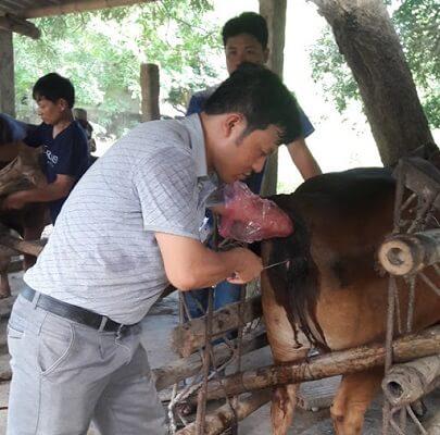 phương pháp thụ tinh nhân tạo cho bò