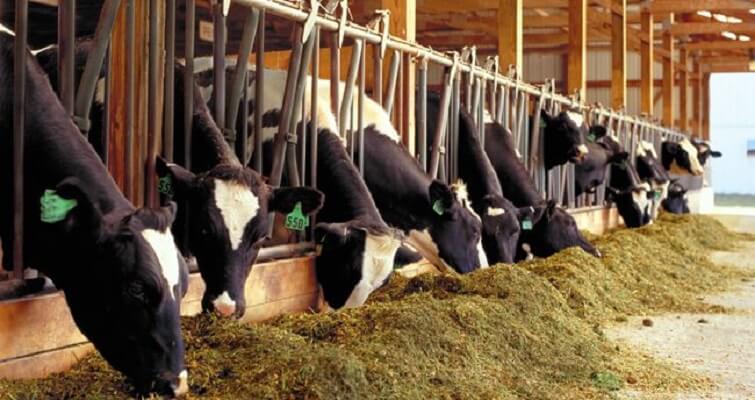 ưu điểm thụ tinh nhân tạo cho bò